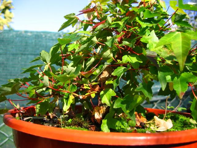 Shohin de Acer buergerianum informal recto - Diminuição da fertilização solida no bonsai