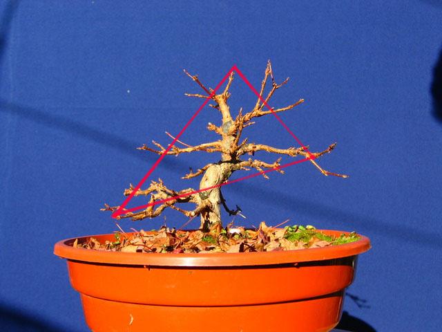 Shohin de Acer buergerianum informal recto - Analise da arvore para a triangulação do bonsai