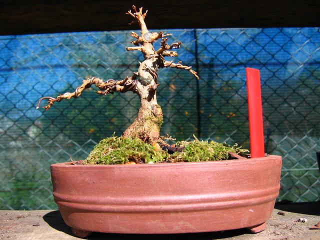 Shohin de Acer buergerianum informal recto - Grande poda e muda para vaso de bonsai e amaração