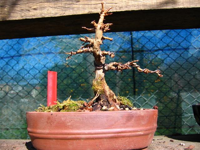 Shohin de Acer buergerianum informal recto - Transformação total do bonsai Acer buergerianum