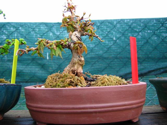 Shohin de Acer buergerianum informal recto - Arranque de primavera do Acer buergerianum