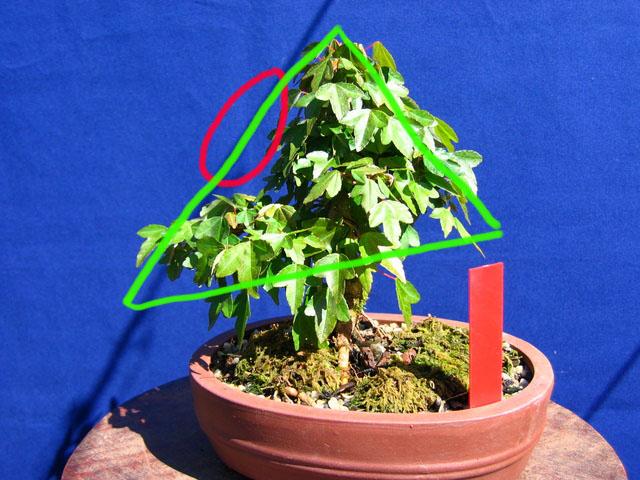 Shohin de Acer buergerianum informal recto - Analise da falha de folhagem e triangulação do bonsai