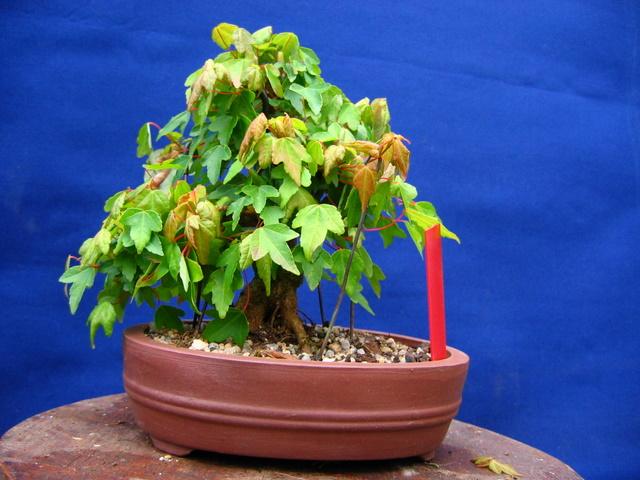 Shohin de Acer buergerianum informal recto - Triangulação da folhagem do bonsai parece estar completa