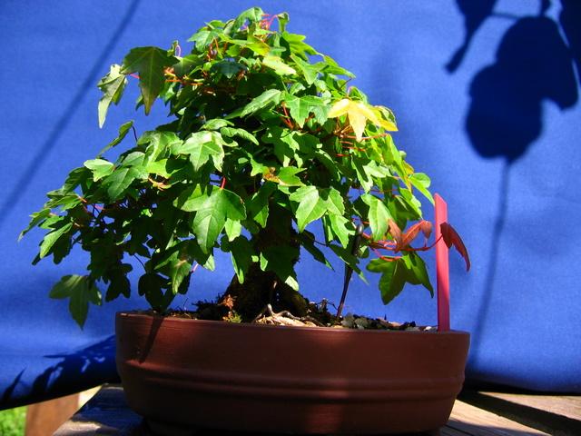 Shohin de Acer buergerianum informal recto - Corte de folhas e modelação de ramos com estacas