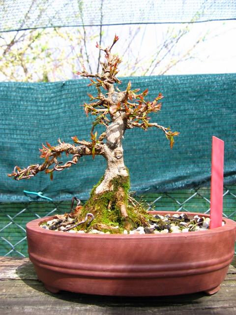 Shohin de Acer buergerianum informal recto - Colocação de arrames e poda de inverno
