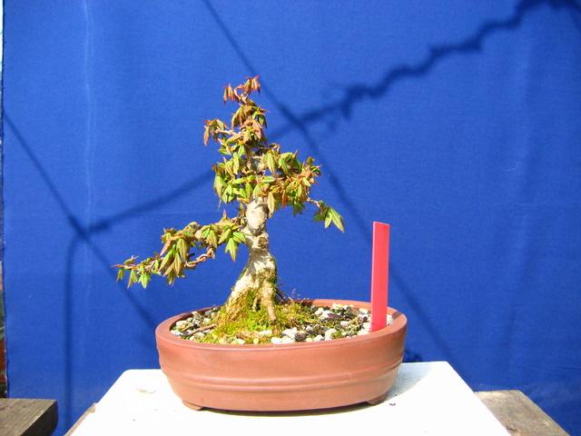 Shohin de Acer buergerianum informal recto - Inicio da adubação liquida no bonsai