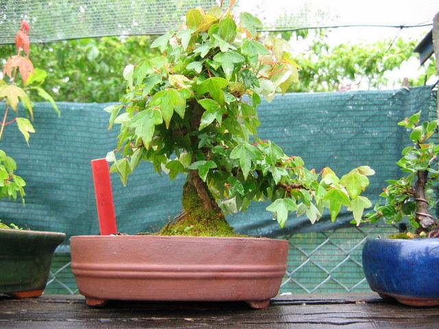 Shohin de Acer buergerianum informal recto - A triangulação não esta facil