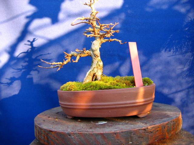Shohin de Acer buergerianum informal recto - Pode de inverno e analide da estrutura do bonsai