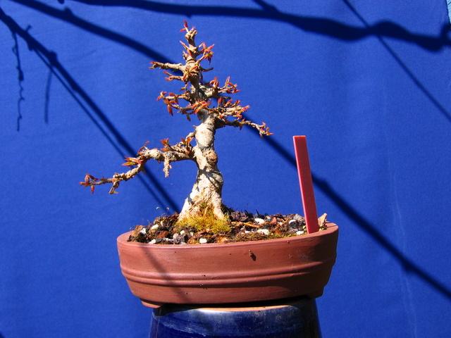 Shohin de Acer buergerianum informal recto - Poda e muda de terra neste bonsai de Acer buergerianum