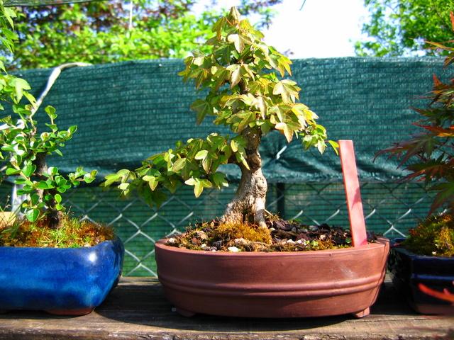 Shohin de Acer buergerianum informal recto - Metsumi e remoção de arames