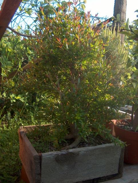 Yamadori de Romazeira com estilo Soukan- Inicio de fertilização com adubo orgânico
