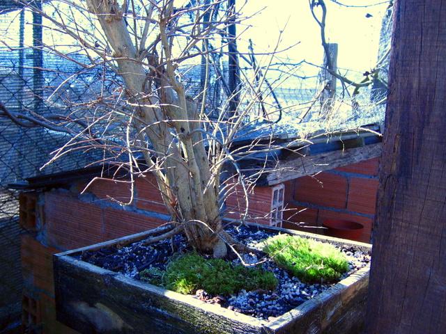 Yamadori de Romazeira com estilo Soukan- Muda de vaso para um menos fundo e corte de raízes
