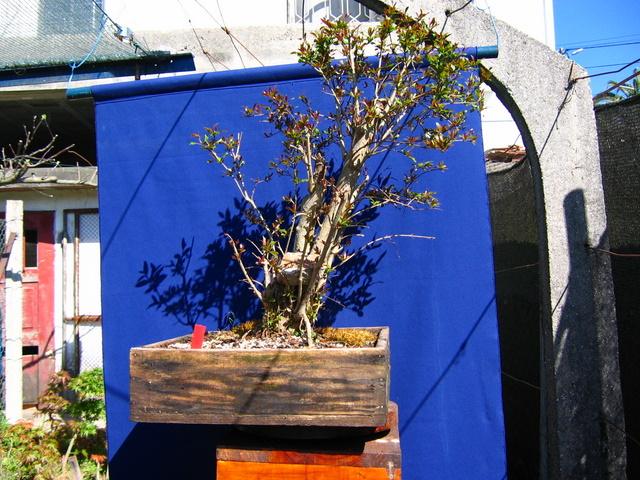 Yamadori de Romazeira com estilo Soukan- Arranque de primavera no bonsai de Romãzeira