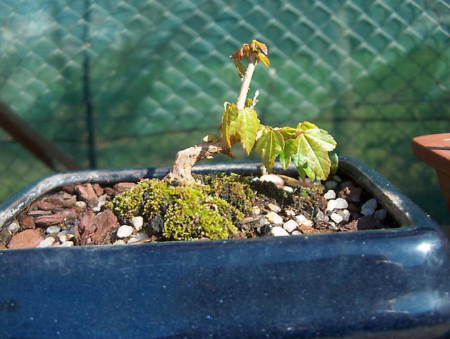 Acer Tridente - O meu primeiro mame- Primeira folhas e os primeiro cortes
