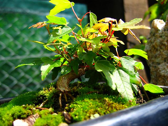 Acer Tridente - O meu primeiro mame- Esta com muita força este mame