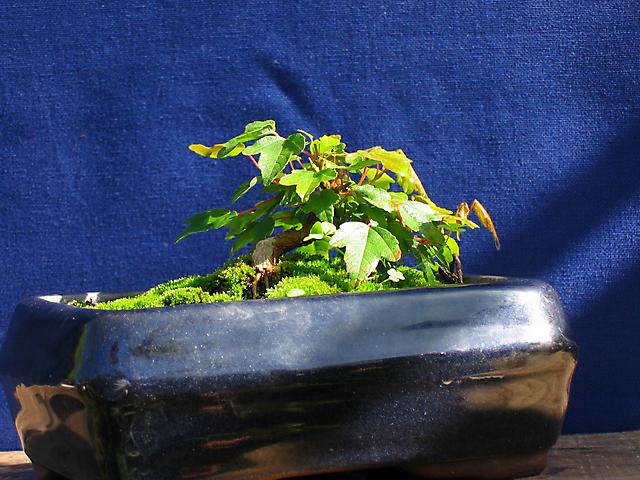 Acer Tridente - O meu primeiro mame- Poda para controlo das folhas