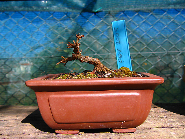 Acer Tridente - O meu primeiro mame- Muda para vaso e corte de raizes