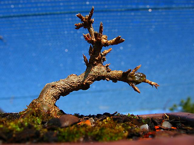 Acer Tridente - O meu primeiro mame- Inicio dos rebentos, estamos na primavera.