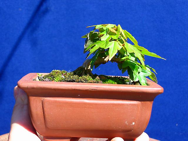 Acer Tridente - O meu primeiro mame- Mame com poda para foto