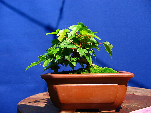 Acer Tridente - O meu primeiro mame- Desenvolvimento calmo do bonsai