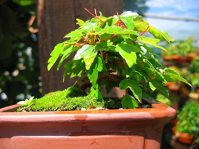 Acer Tridente - O meu primeiro mame- Fim da epoca de crescimento das folhas