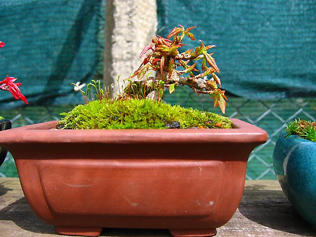 Acer Tridente - O meu primeiro mame- Mais uma primavera.