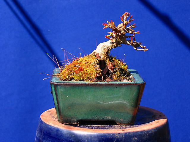 Acer Tridente - O meu primeiro mame- Muda de vaso e poda de estrutura