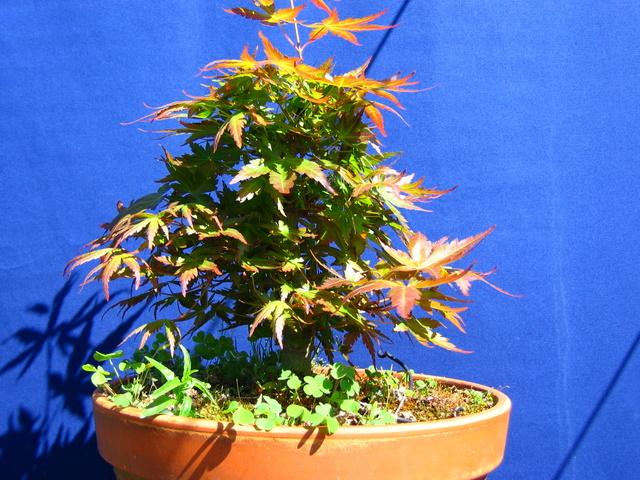 Acer Palmatum Informal recto Moyogi- Fertilização do bonai de Acer Palmatum