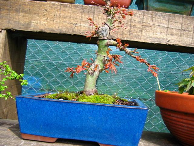 Acer Palmatum Informal recto Moyogi- Colocação de arames, corte de raízes e muda de vaso do bonsai