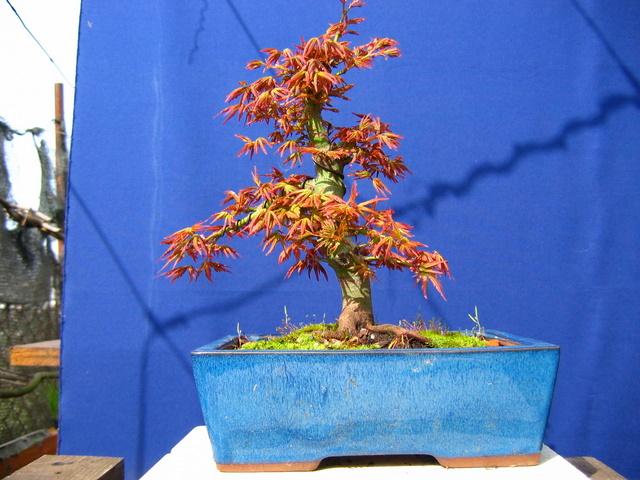 Acer Palmatum Informal recto Moyogi- Arranque da primavera do bonsai de Acer Palmatum