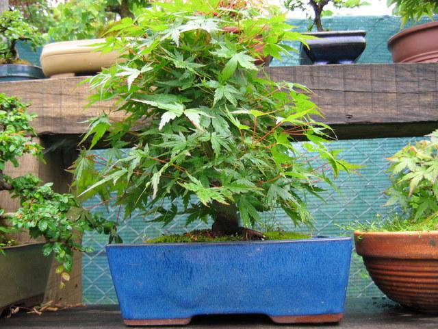 Acer Palmatum Informal recto Moyogi- Bonsai com a folhagem de verão