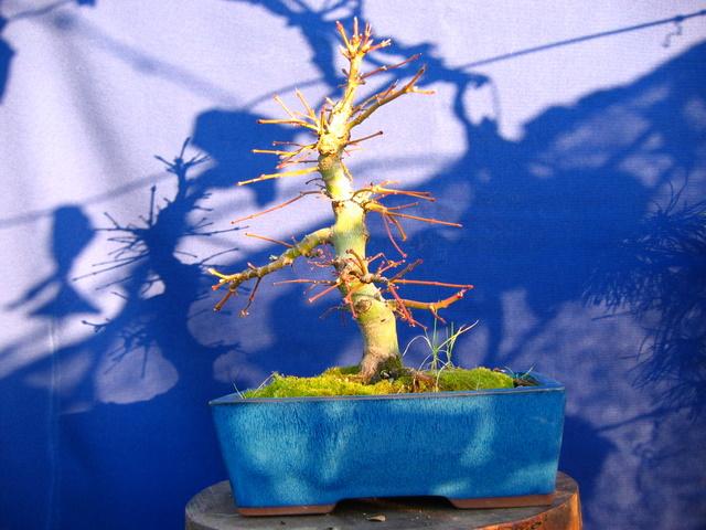 Acer Palmatum Informal recto Moyogi- Analise do bonsai de Acer Palmatum após o inverno