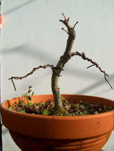 Acer Palmatum Bankan com ligeira curva - Poda e colocação de arames nos ramos principais no bonsai