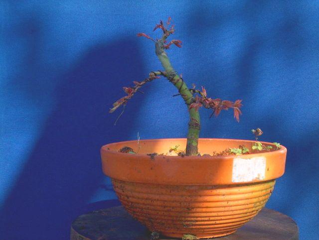 Acer Palmatum Bankan com ligeira curva - Arranque da primavera do Acer Palmatum