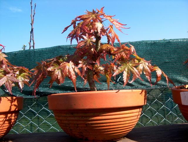 Acer Palmatum Bankan com ligeira curva - Analise da triangulação do bonsai de Acer Palmatum