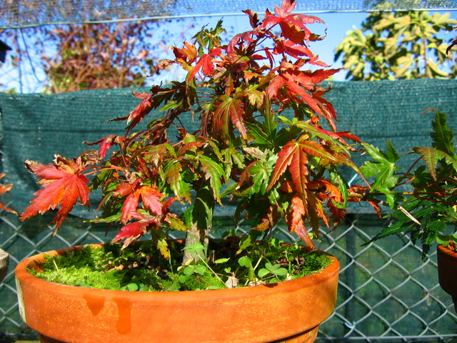 Acer Palmatum Bankan com ligeira curva - Queda das folhas de Outono do bonsai de Acer Palmatum