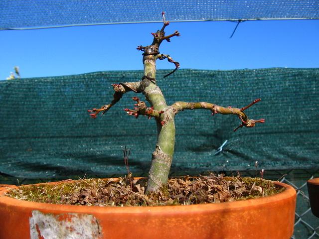 Acer Palmatum Bankan com ligeira curva - Poda de fim de Inverno e colocaçãode arames