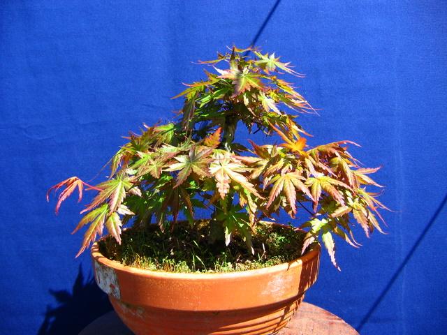 Acer Palmatum Bankan com ligeira curva - Metsumi e adubação do bonsai