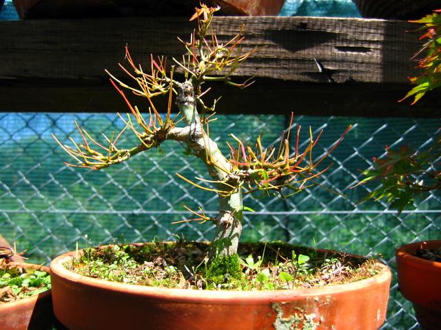 Acer Palmatum Bankan com ligeira curva - Defoliação total do bonsai Acer Palmatum
