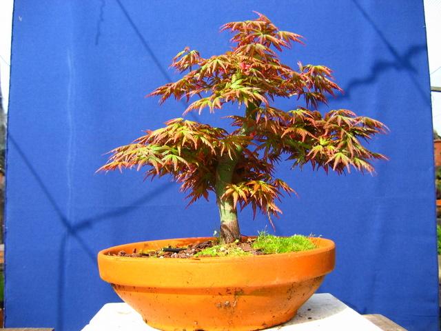 Acer Palmatum Bankan com ligeira curva - Muda de vaso menos fundo e corte de raízes e ligeira poda