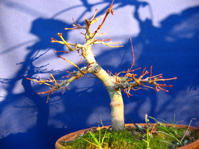 Acer Palmatum Bankan com ligeira curva - Bonsai de Acer Palmatum antes da poda de Inverno