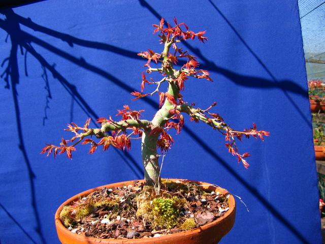 Acer Palmatum Bankan com ligeira curva - Depois da poda de Inverno e arranque de primavera do Acer Palmatum