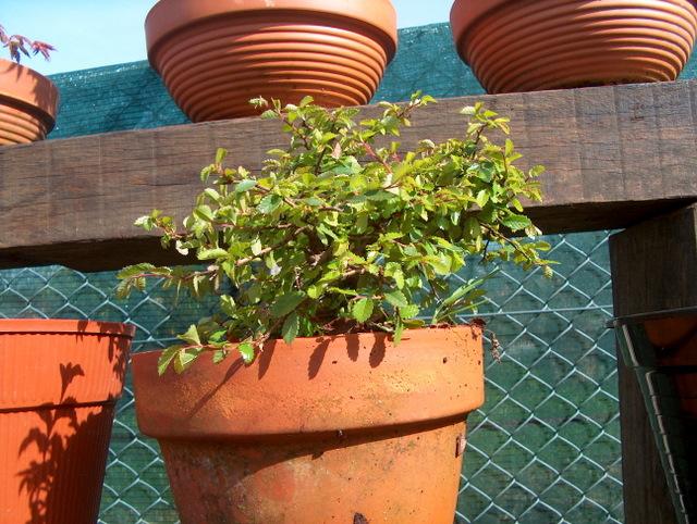 Bonsai de Ulmus Parvifolia Inclinado pelo vento- Colocação da arvore em vaso para engordar