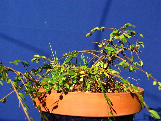 Bonsai de Ulmus Parvifolia Inclinado pelo vento- Resultado de uma boa fertilização