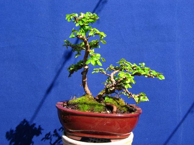 Bonsai de Ulmus Parvifolia Inclinado pelo vento- Colocação do bonsai em vaso, corte de raizes e amarração