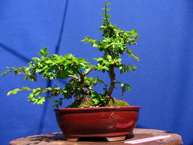 Bonsai de Ulmus Parvifolia Inclinado pelo vento- Remoção dos arames e colocação de ganchos no bonsai de Ulmus