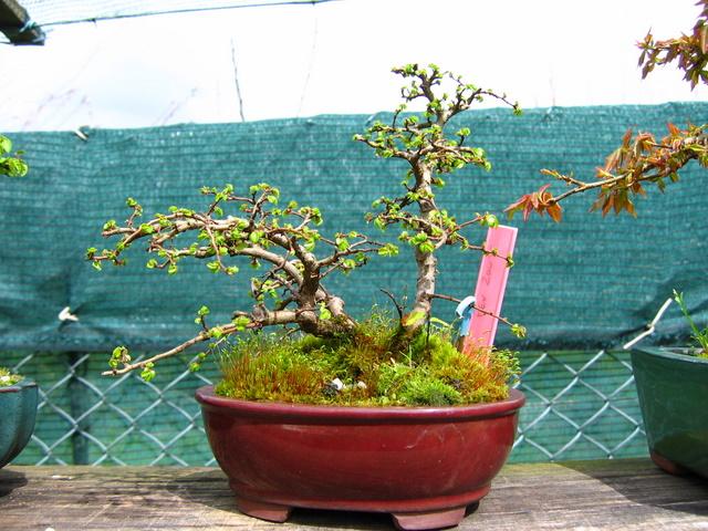 Bonsai de Ulmus Parvifolia Inclinado pelo vento- Poda de inverno e analise do bonsai de Ulmus Parvifolia