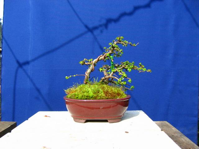 Bonsai de Ulmus Parvifolia Inclinado pelo vento- Colocação de areme no tronco principal e definição do estilo inclinado pelo vento