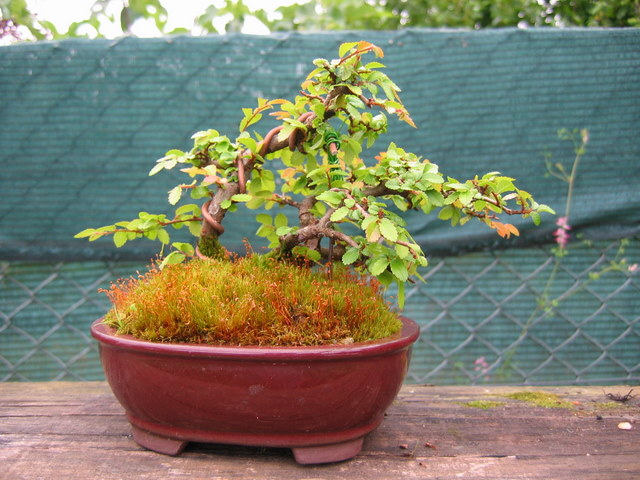 Bonsai de Ulmus Parvifolia Inclinado pelo vento- Ligeira poda de controlo das folhas do bonsai