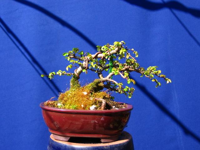 Bonsai de Ulmus Parvifolia Inclinado pelo vento- Corte de raízes do bonsai, e troca de composto